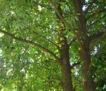 scenery-nutmeg-tree