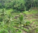 scenery-rice-fields
